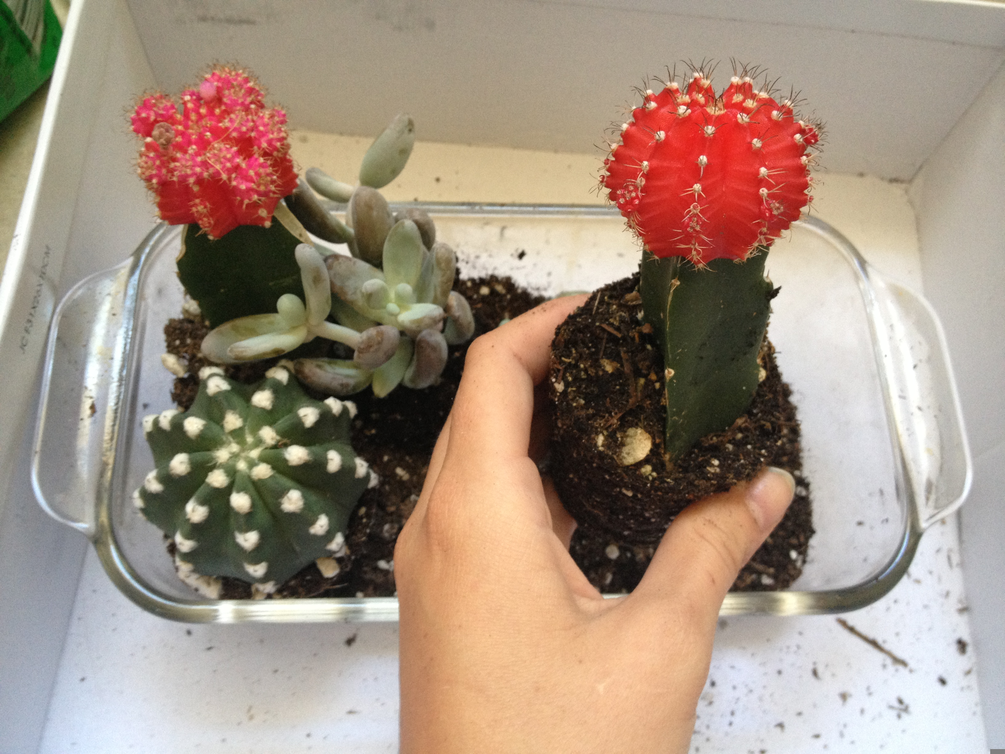 sweet cacti succulent terrarium  zest it up, Natural flower